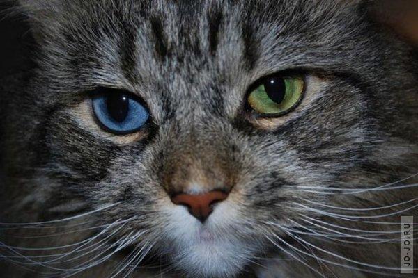 Кошки с разным цветом глаз » Jo-jo * Твоё место под солнцем Гетерохромия Глаз у Кошек