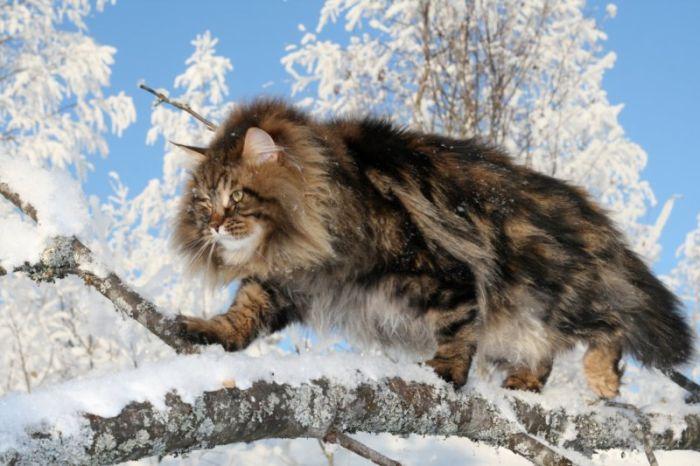 The Cat Collection №47 Сибирский кот Фото