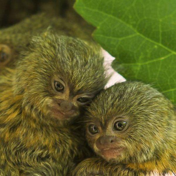 Знакомьтесь, перед вами мармозетка - самая маленькая обезьянка в мире