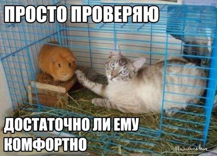 Котэ,прикольные картинки с кошками,свинка,комфорт,фото приколы,новые и