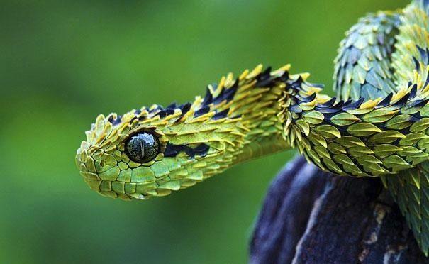 Эта ядовитая змея обитает на деревьях