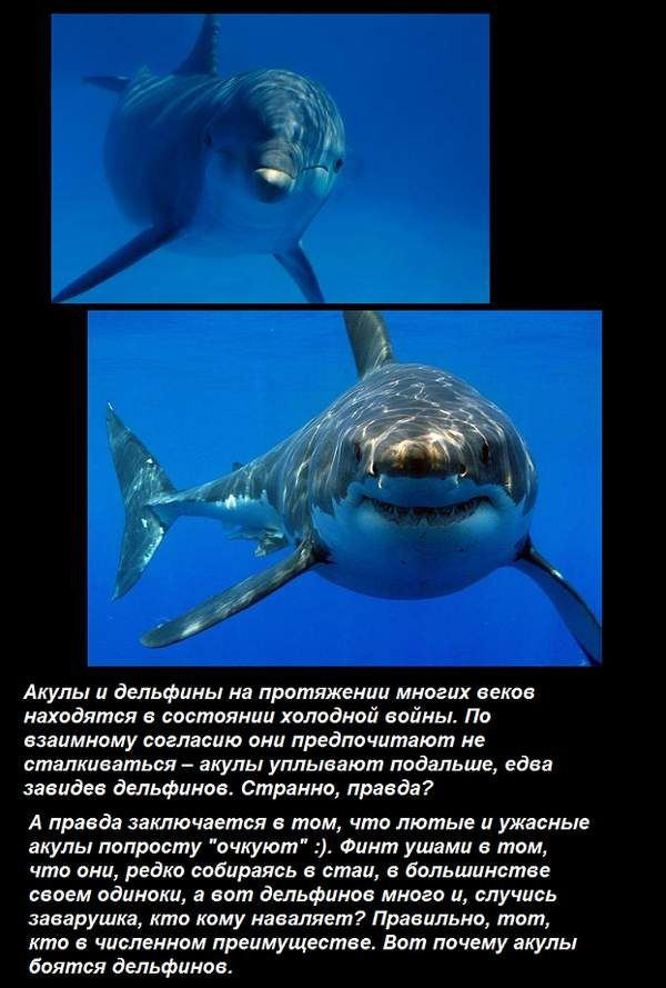 Почему дельфины не боятся акул