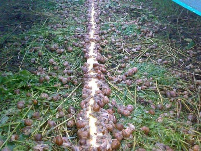 Бизнес выращивание виноградной улитки 33