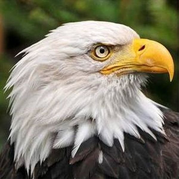 Почему орлов изображают в профиль
