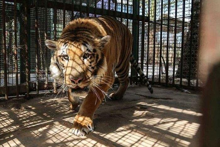 История спасения одного тигра (8 фото)