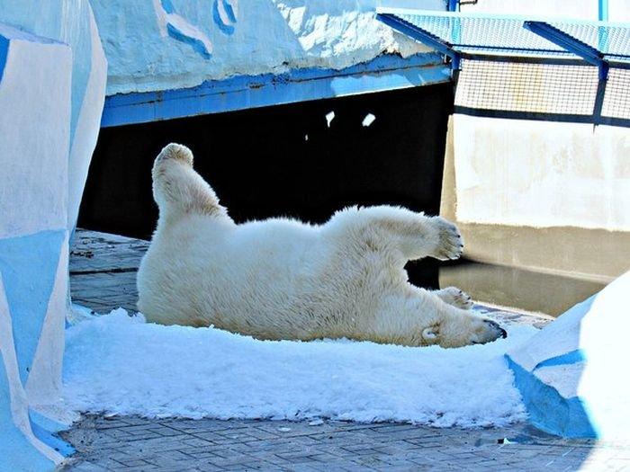 Белая медведица радуется снегу (3 фото)