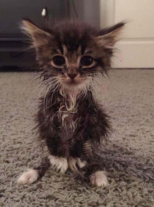 Родившийся без локтевых суставов котенок превратился в прекрасную кошку (8 фото)