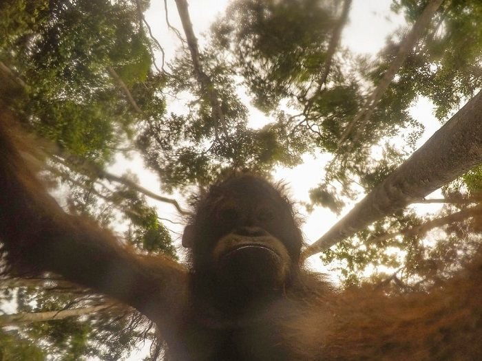 Орангутан нашел в лесу экшн-камеру и сделал уникальные селфи (8 фото)
