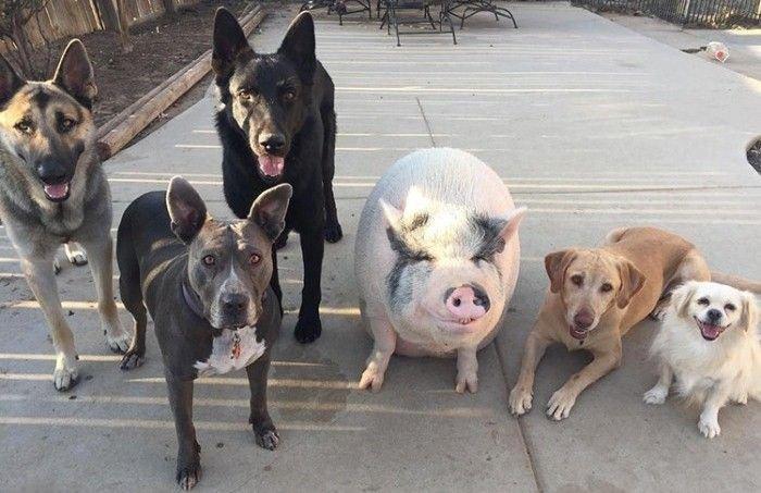 Поросенок, живущий в окружении пяти собак (6 фото)