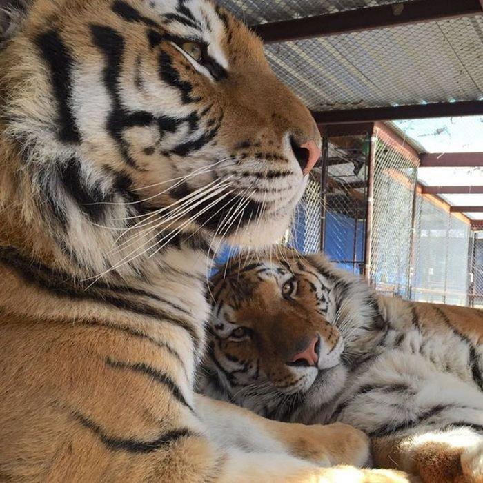 Вы будете шокированы, когда увидите, как эта тигрица выглядела раньше (8 фото)