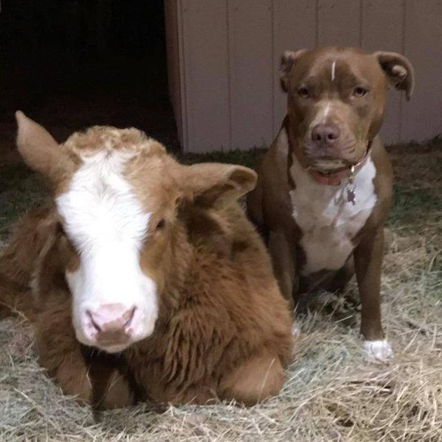Спасенный в Техасе теленок думает, что он пес (7 фото)