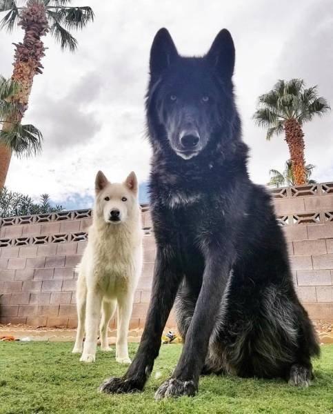 Гибриды волка и собаки (25 фото)