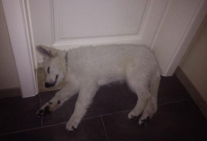 Собака выросла, а привычка осталась (3 фото)