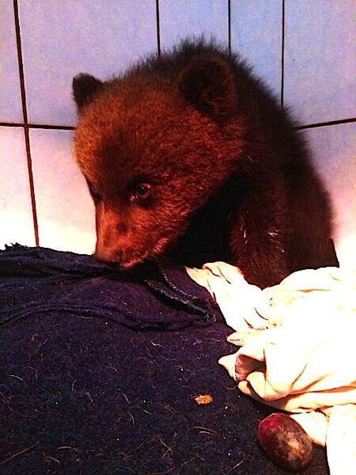 Спасение медвежонка в Ленинградской области (4 фото)