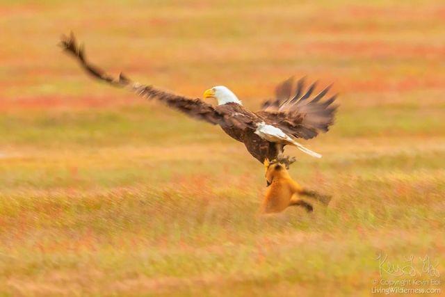 Охотники не поделили добычу (13 фото)