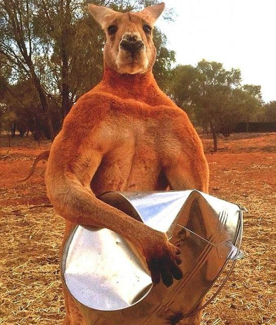 Мощный кенгуру из австралийского заповедника держит в страхе смотрителей (4 фото + видео)