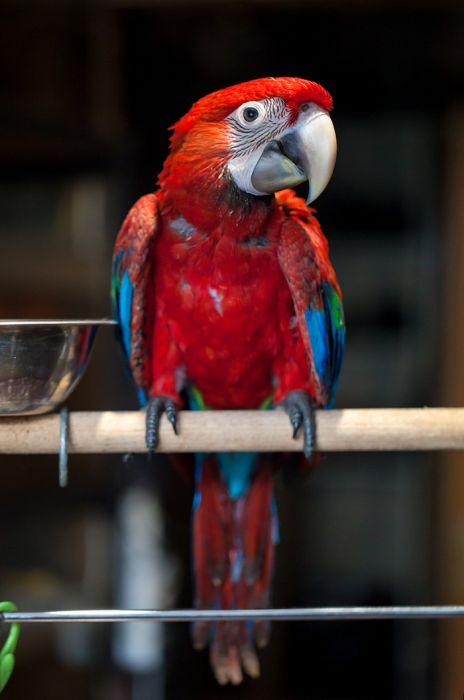Как меняются попугаи ара за два первых месяца своей жизни (23 фото)