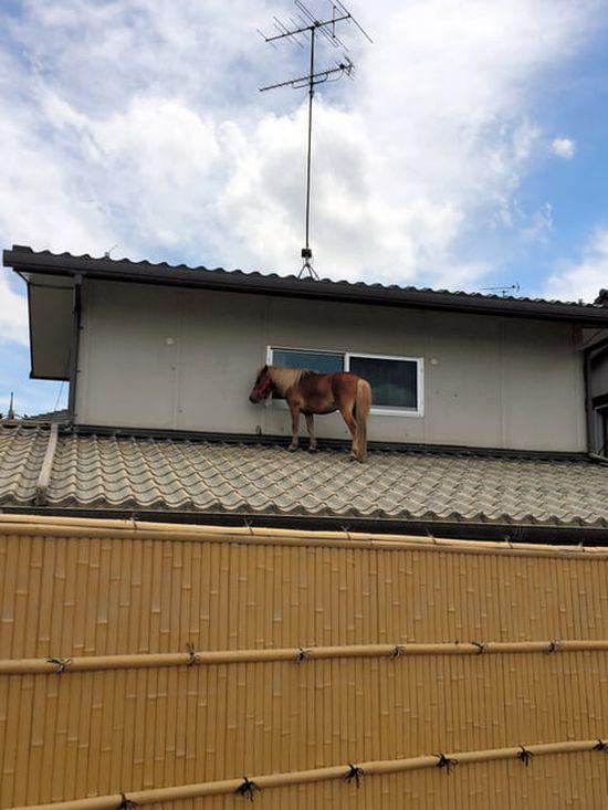 Чудесное спасение пони во время наводнения в Японии (5 фото)