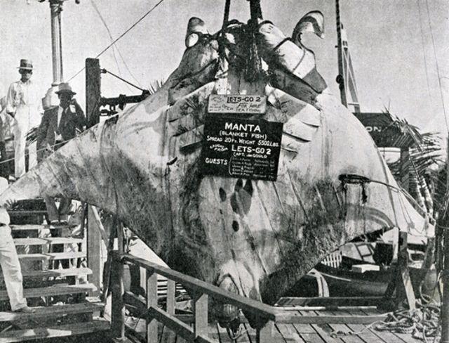 """""""Великий скат"""", которого поймал капитан Кан в 1933 году (3 фото)"""