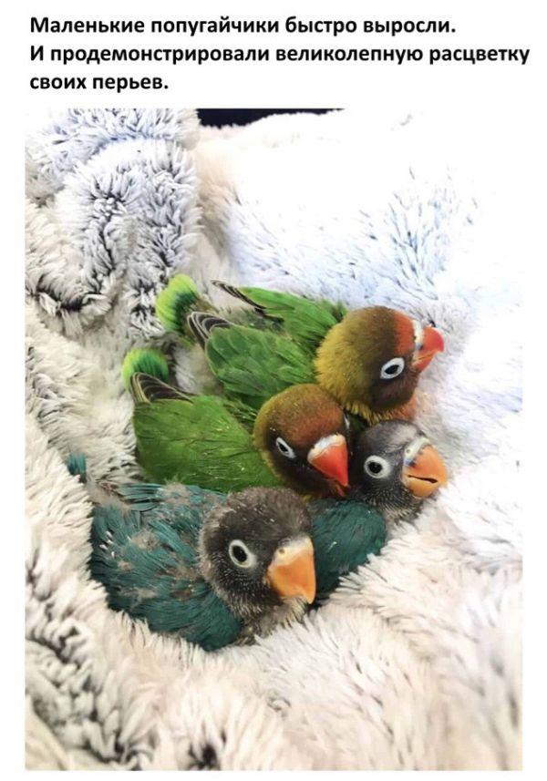 История любви двух попугаев (8 фото)