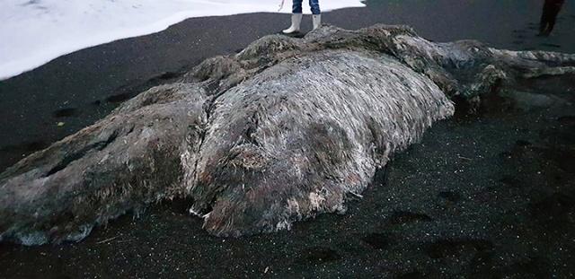 Останки неизвестного волосатого монстра выбросило на побережье Камчатки (5 фото)