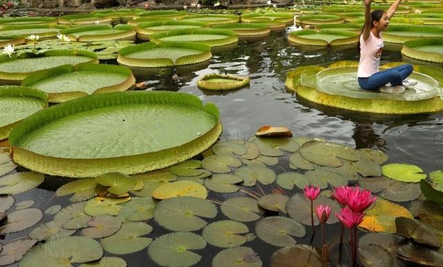 Листья водяной лилии, на которых можно фотографироваться (7 фото)