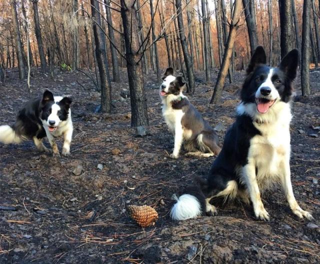 Три бордер-колли помогают возродить лес после пожара (5 фото)