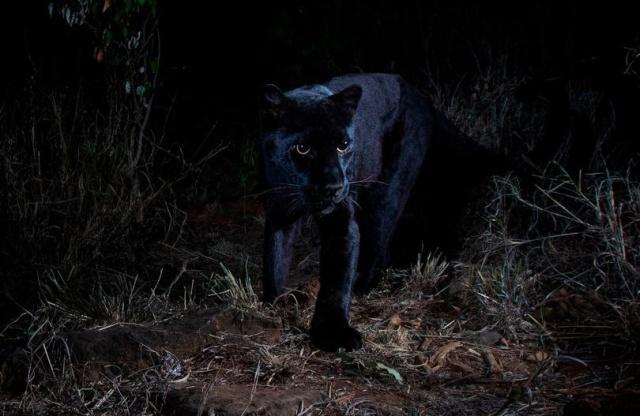 В Африке впервые за 100 лет в объектив камеры попал черный леопард (6 фото)