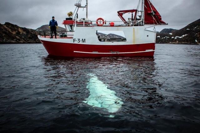 """Норвежские рыбаки сняли с белухи подвес для камеры GoPro с надписью """"оборудование Санкт-Петербурга"""" (7 фото)"""